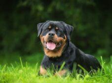 معرفی نژاد سگ روتوایلر، یه سگ نگهبان با قلبی مهربان