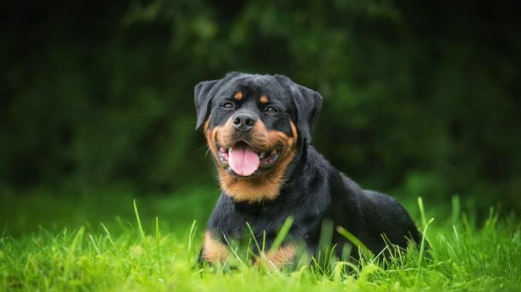 سگ روتوایلر