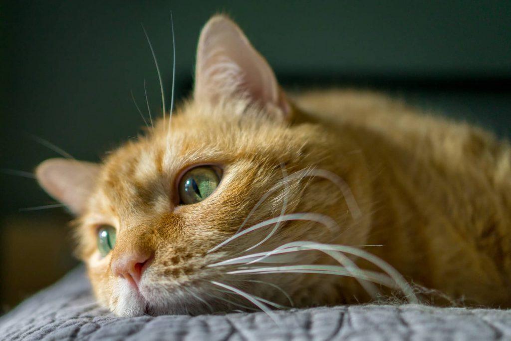 گربه حنایی