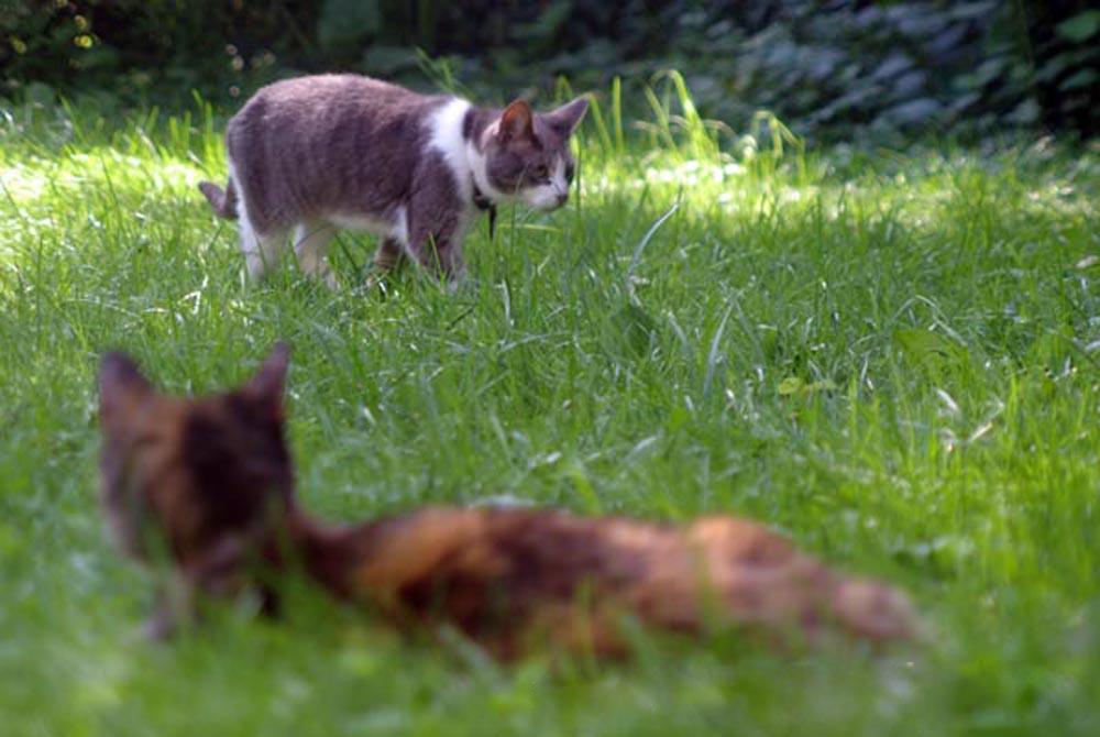 گربه در حیاط