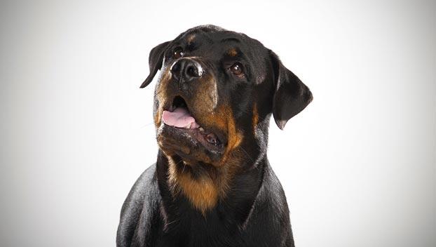 سگ نژاد روتوایلر