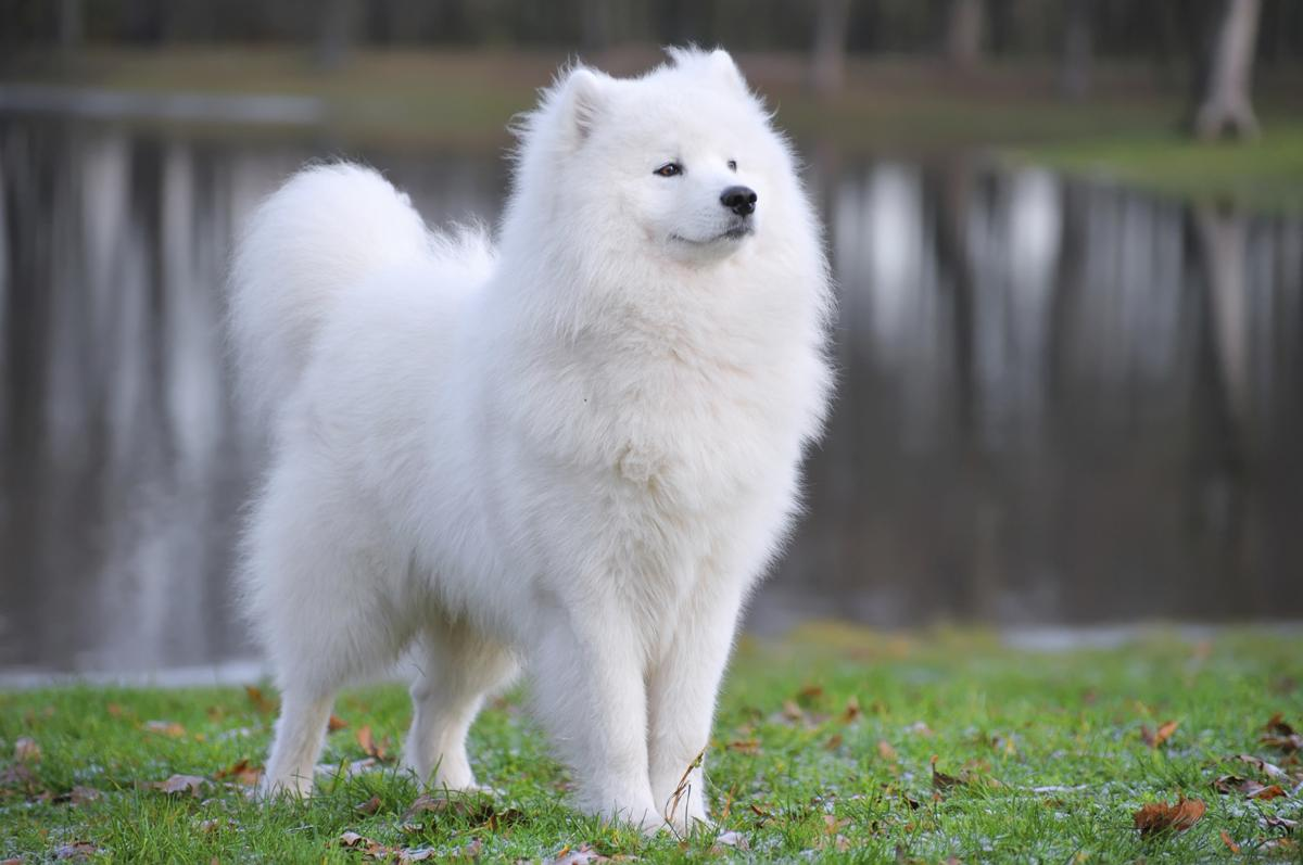 نژاد سگ ساموید
