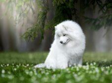 همه چیز درباره سگ نژاد ساموید، سگ همیشه خندان و نگهداری از آن + (عکس)