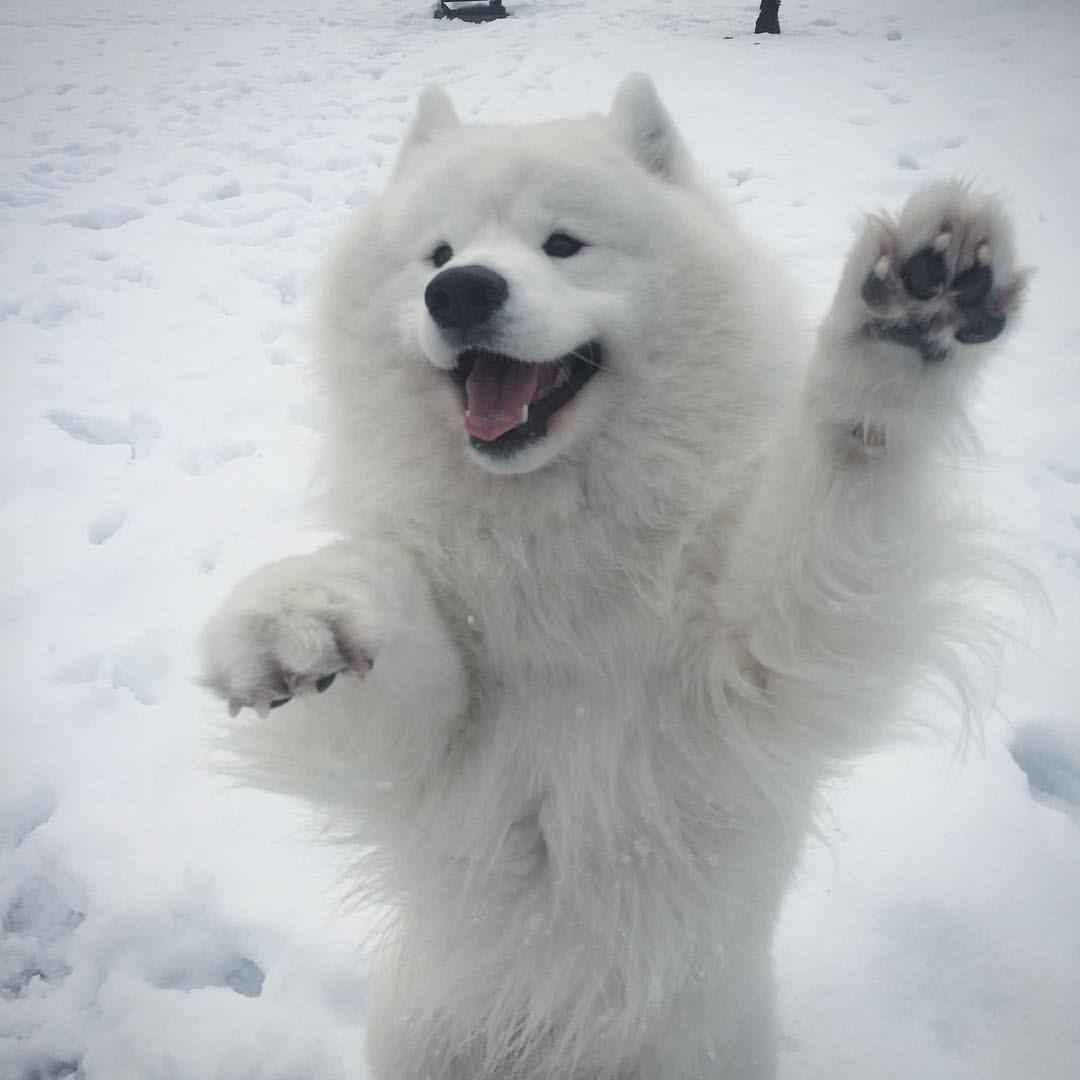 عکس نژاد سگ ساموید