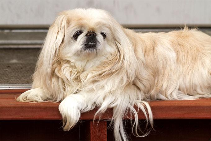 سگ پکینیز