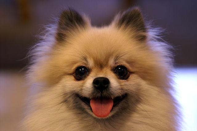 سگ پامرانین خرسی