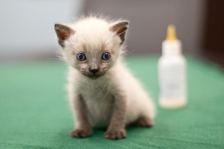 غذای بچه گربه چند روزه
