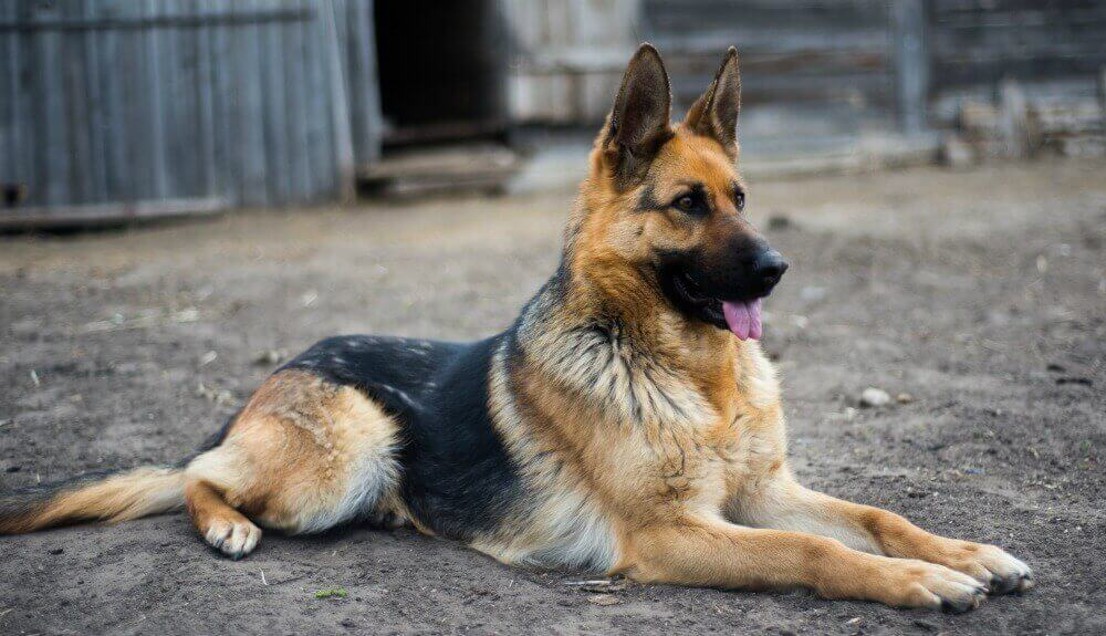 سگ ژرمن نگهبان