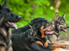 بررسی بهترین نژادهای سگ نگهبان در ایران