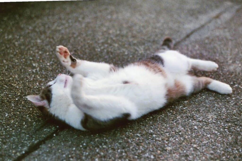 نشان دادن شکم در گربه