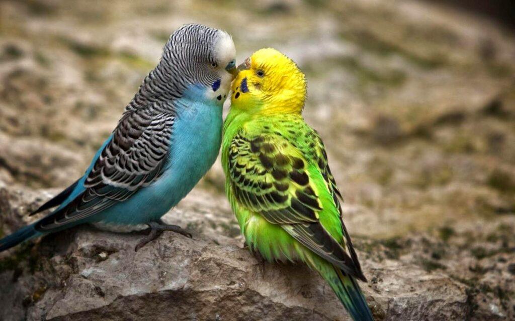 مرغ عشق بانمک