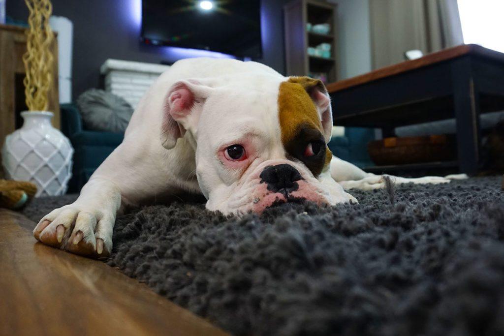 اضطراب جدایی در سگ