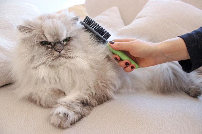 عکس گربه پرشین