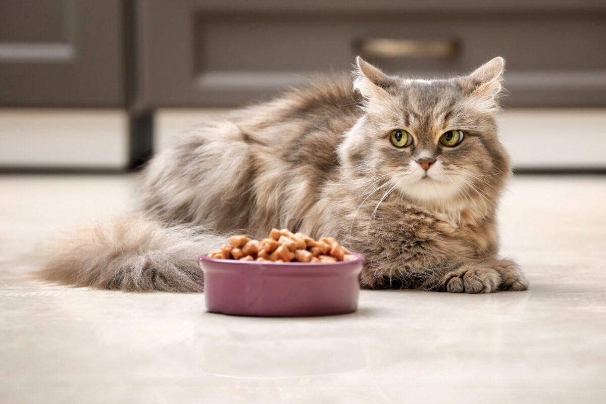 گربه کنار ظرف غذای خشک