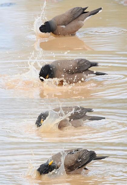 حمام کردن مرغ مینا