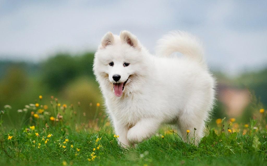 توله سگ ساموید سفید در طبیعت