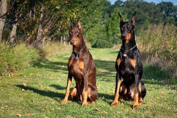 سگ دوبرمن نگهبان