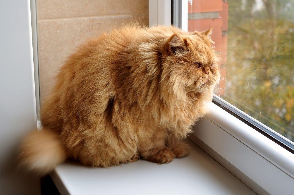 جاقی در گربه پرشین