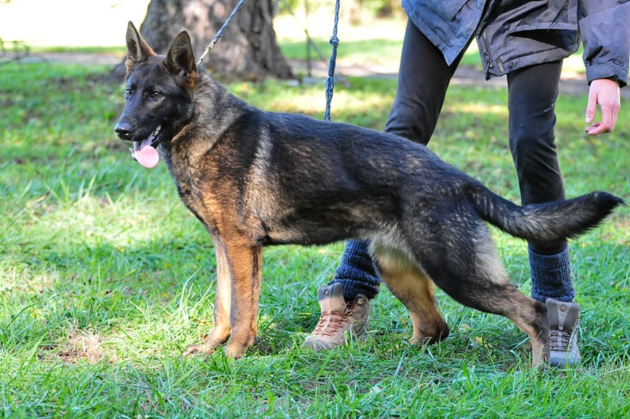تربیت سگ ژرمن نگهبان