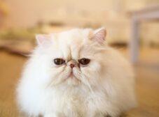 همه چیز درباره نگهداری از گربه پرشین، این گربه ایرانی زیبا و اشرافی