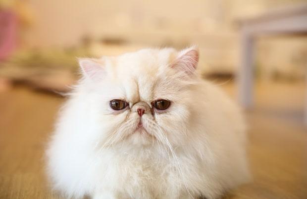 گربه پرشین سفید