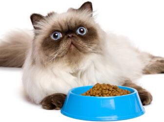 نکات مهم در مورد غذای گربه پرشین (تفاوت های غذای پرشین کت با گربه های دیگه)