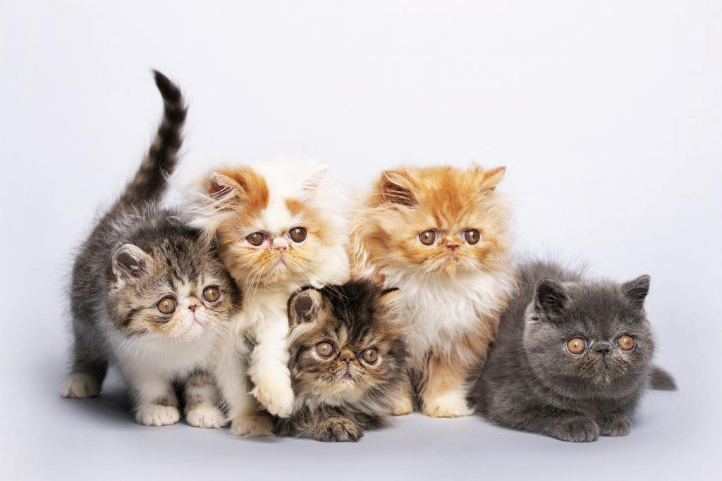 بچه گربه پرشین