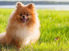 سگ پامرانین و هرآنچه میخواهید در مورد این نژاد بدانید (ویژگی ها، نگهداری، قیمت، ظاهر و ..)