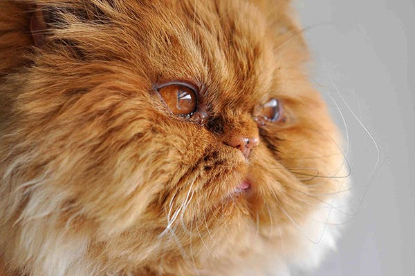 اشک گربه پرشین