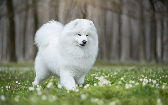 عکس سگ ساموید