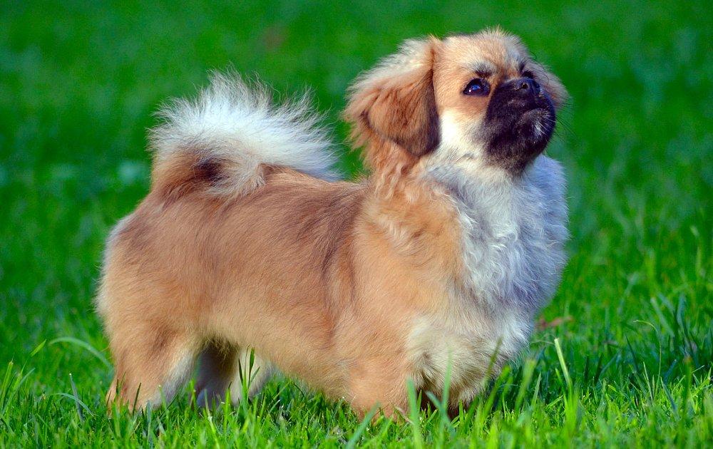 سگ پاکوتاه اسپانیل تبنی