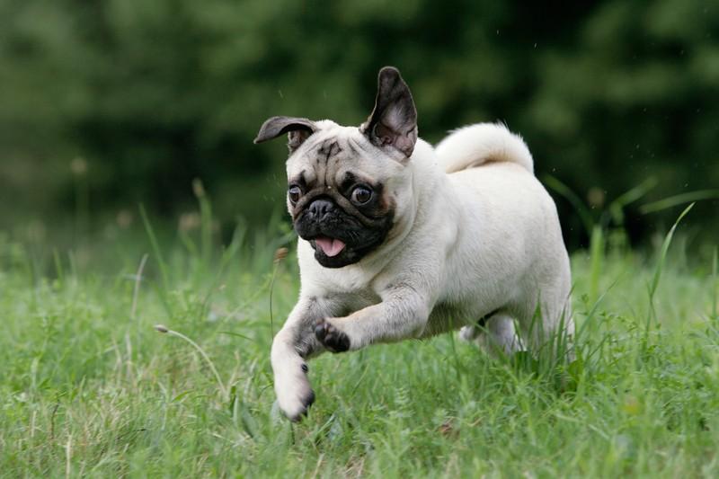 دویدن سگ پاگ