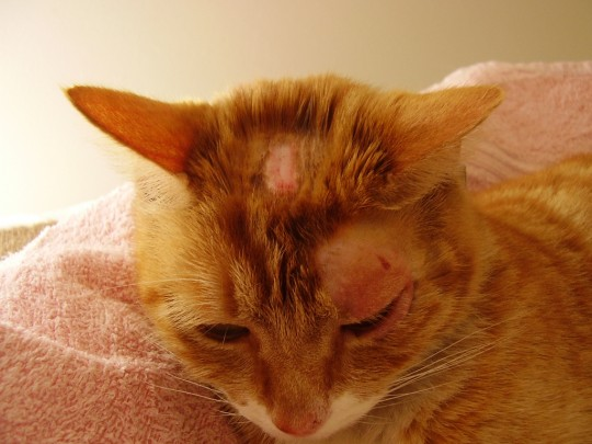 قارچ پوستی گربه