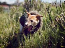 علت خشونت، عصبی بودن و پرخاشگری سگ من چیست؟