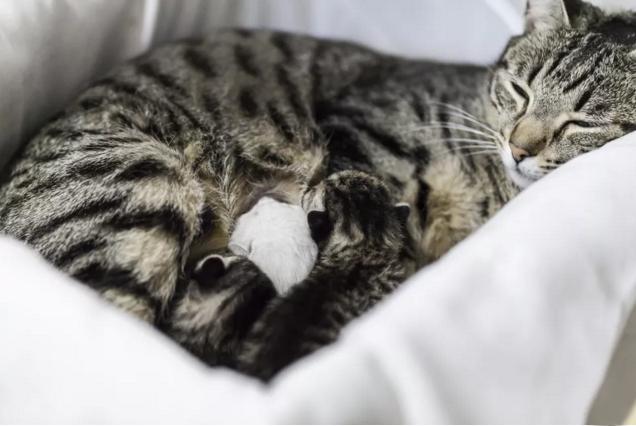 زایمان در گربه