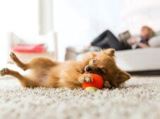 بهترین نژادهای سگ آپارتمانی خانگی و آپارتمانی قابل خریداری در ایران