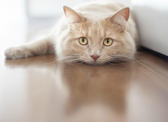 بیحالی در گربه