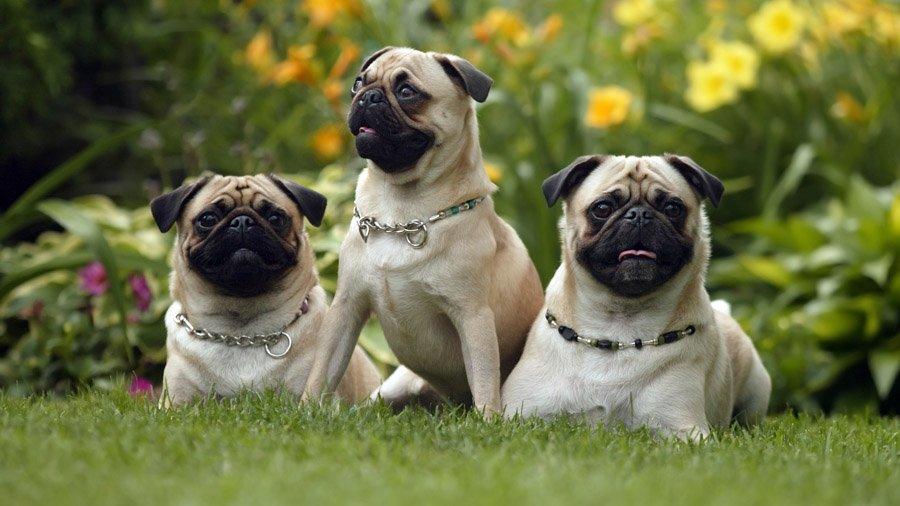 عکس سگ های پاگ