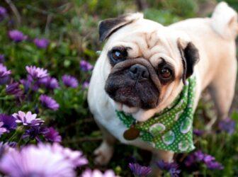 معرفی کامل نژاد سگ پاگ، سگ دلقک و صورت چروک