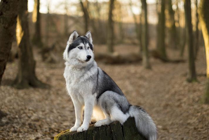 سگ هاسکی زیبا