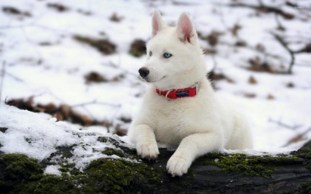 سگ هاسکی سفید