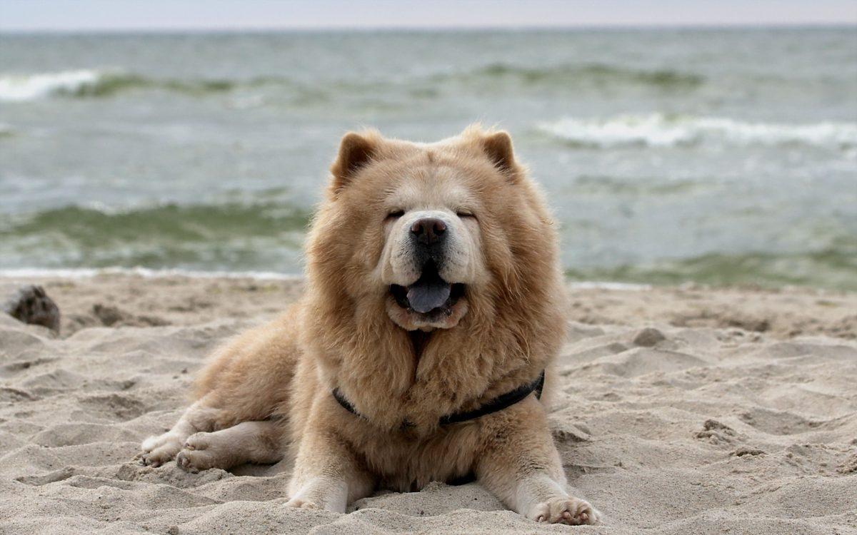 معرفی نژاد سگ چاو چاو، سگی شبیه به شیر؛ با زبان آبی!