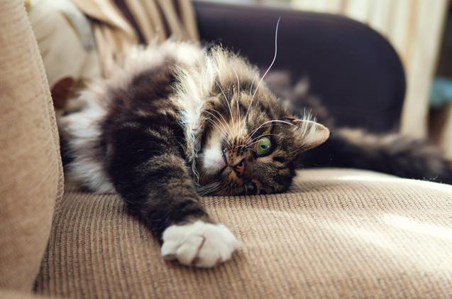 ریزش مو فصلی گربه