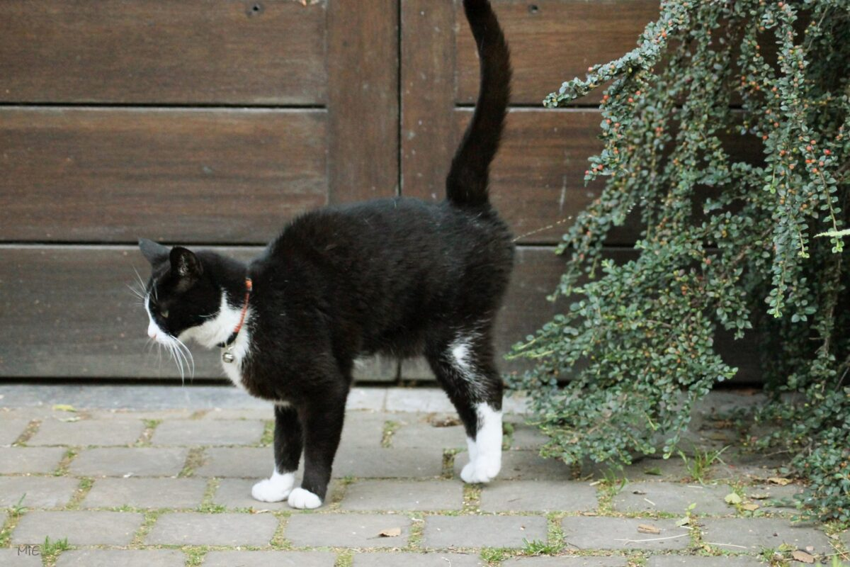 گربه نر در حال اسپری کردن ادرار