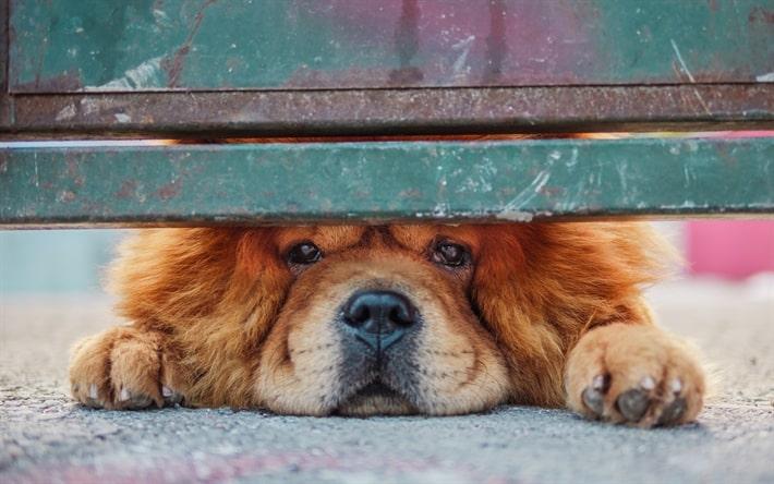 سگ چاوچاو قهوه ای در حال تماشا از زیر در
