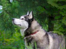 همه چیز درباره سگ هاسکی سیبری، سگی مهارنشدنی با ظاهری گرگ مانند
