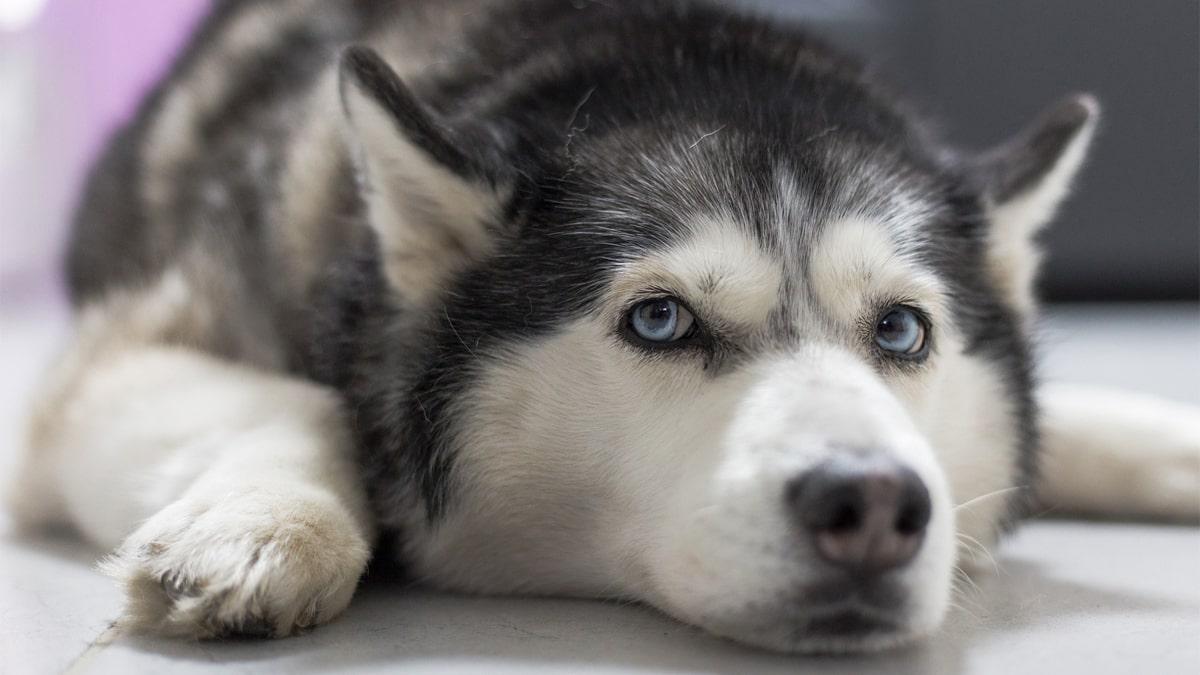 سگ هاسکی دراز کشیده روی زمین