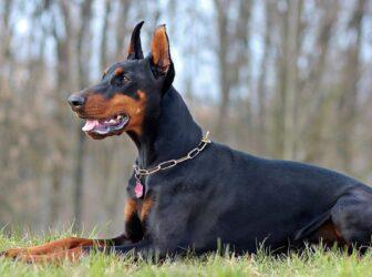 معرفی سگ دوبرمن پینشر، نژاد تیزهوش و با ابهت (ویژگی های، قیمت و خلقوخو)