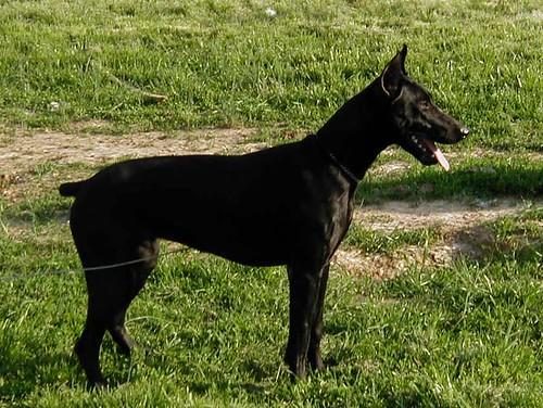 سگ دوبرمن سیاه
