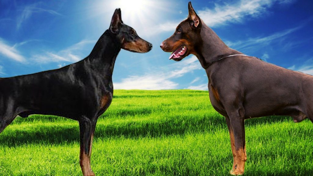 انواع سگ دوبرمن